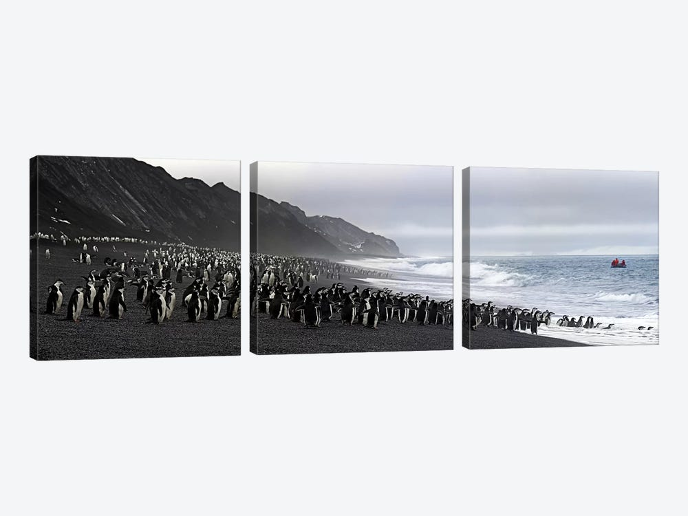 Chinstrap penguins marching to the sea, Bailey Head, Deception Island, Antarctica by Panoramic Images 3-piece Canvas Print