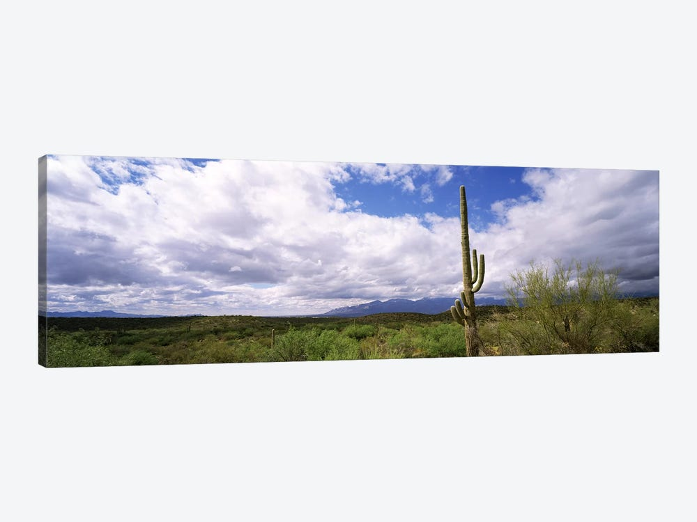 Cactus in a desert, Saguaro National Monument, Tucson, Arizona, USA by Panoramic Images 1-piece Canvas Art Print