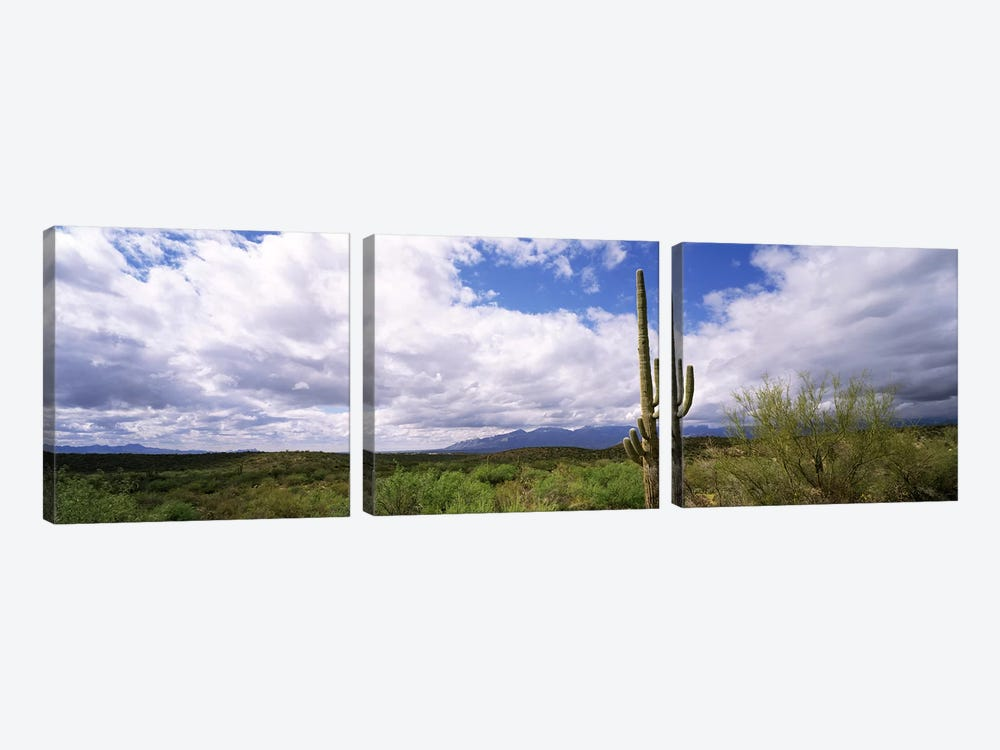 Cactus in a desert, Saguaro National Monument, Tucson, Arizona, USA by Panoramic Images 3-piece Canvas Print