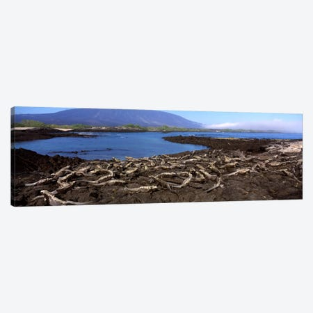 Marine iguanas (Amblyrhynchus cristatus) at a coastFernandina Island, Galapagos Islands, Ecuador Canvas Print #PIM828} by Panoramic Images Canvas Art