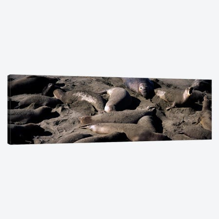 Elephant seals on the beach, San Luis Obispo County, California, USA Canvas Print #PIM8311} by Panoramic Images Canvas Print
