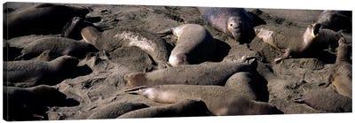 Elephant seals on the beach, San Luis Obispo County, California, USA Canvas Print #PIM8311