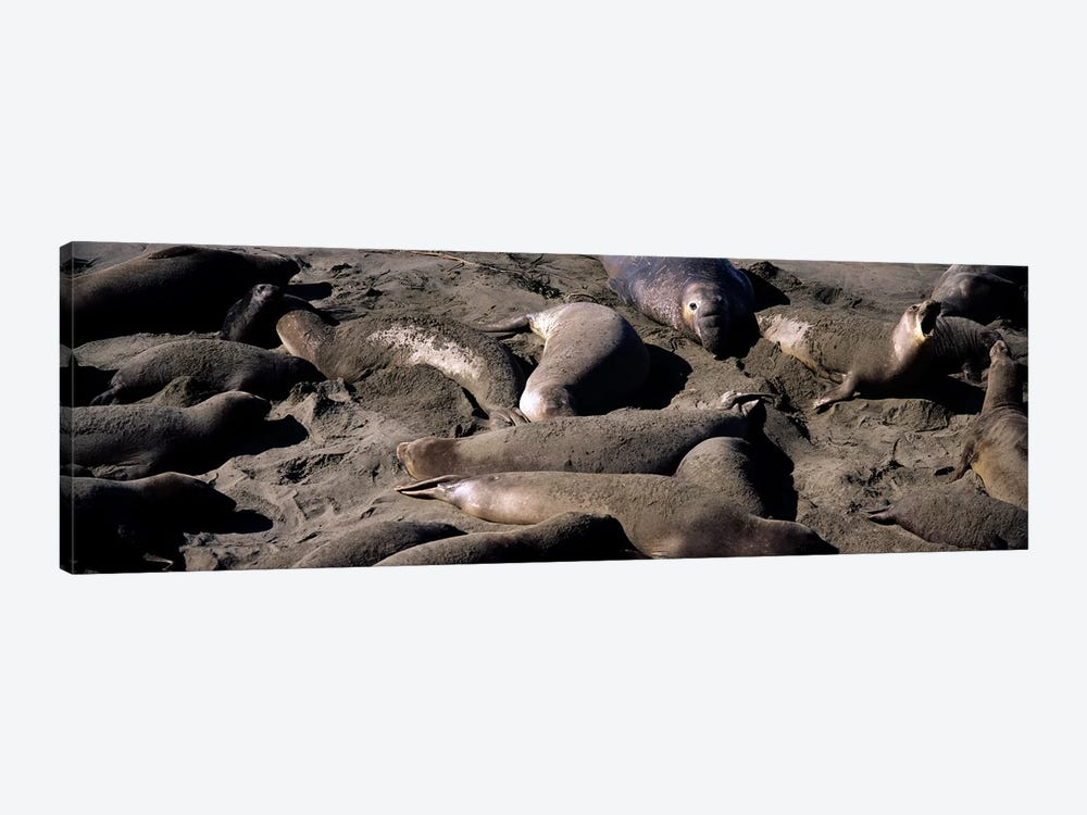 Elephant seals on the beach, San Luis Obispo County, California, USA by Panoramic Images 1-piece Canvas Art Print