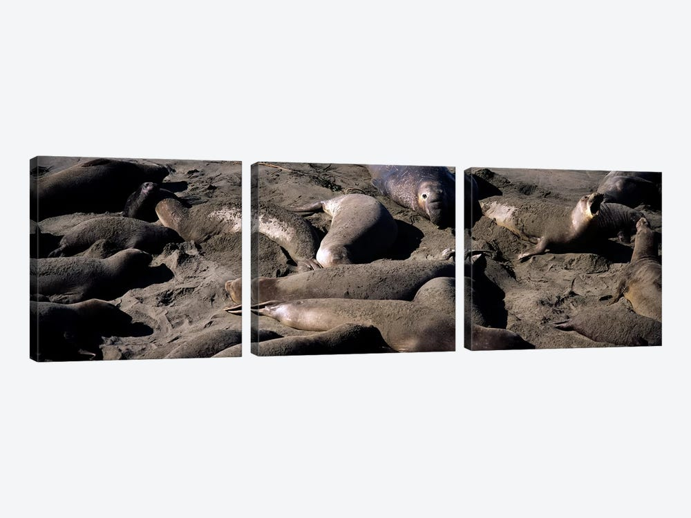 Elephant seals on the beach, San Luis Obispo County, California, USA by Panoramic Images 3-piece Art Print