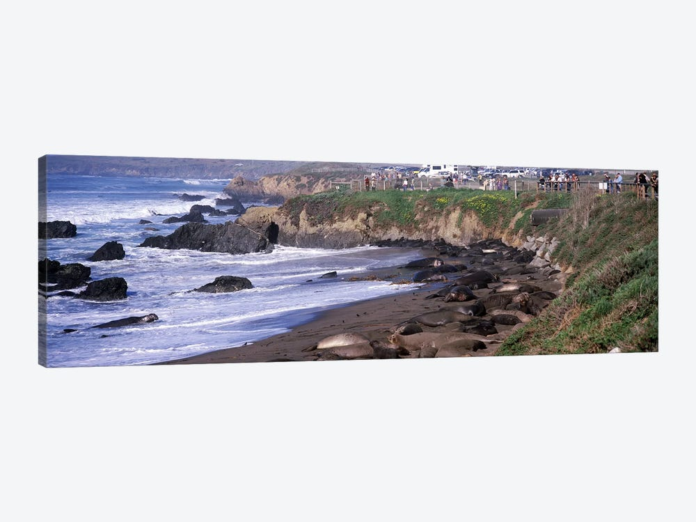 Elephant seals on the beach, San Luis Obispo County, California, USA #2 by Panoramic Images 1-piece Canvas Art