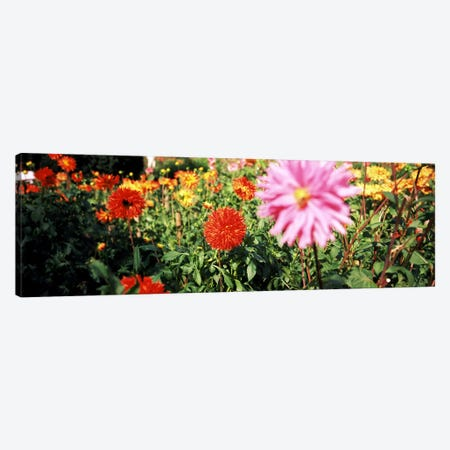 Dahlia flowers in a park, Stuttgart, Baden-Wurttemberg, Germany Canvas Print #PIM8379} by Panoramic Images Canvas Print