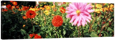 Dahlia flowers in a park, Stuttgart, Baden-Wurttemberg, Germany Canvas Art Print