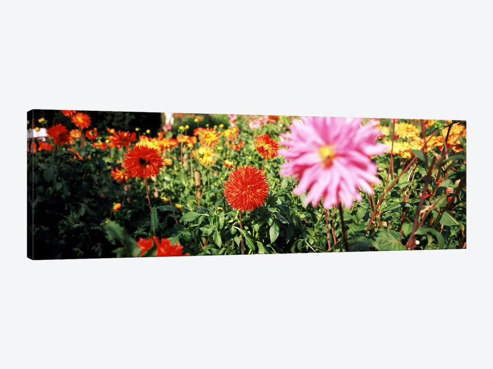 Dahlia flowers in a park, Stuttgart, Baden-Wurttemberg, Germany by Panoramic Images 1-piece Canvas Art Print