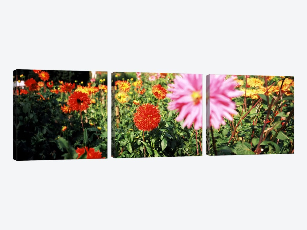 Dahlia flowers in a park, Stuttgart, Baden-Wurttemberg, Germany by Panoramic Images 3-piece Canvas Art Print