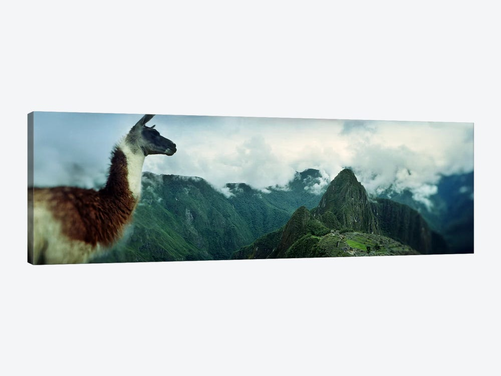 Alpaca (Vicugna pacos) on a mountain with an archaeological site in the backgroundInca Ruins, Machu Picchu, Cusco Region, Peru by Panoramic Images 1-piece Art Print