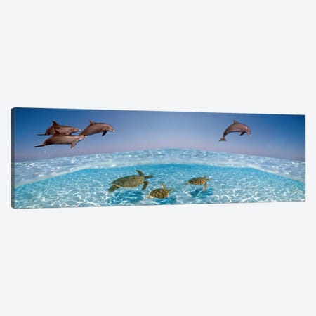 Bottlenose Dolphin Jumping While Turtles Swimming Under Water Canvas Print #PIM8524} by Panoramic Images Canvas Print