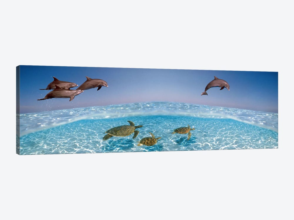 Bottlenose Dolphin Jumping While Turtles Swimming Under Water by Panoramic Images 1-piece Canvas Print