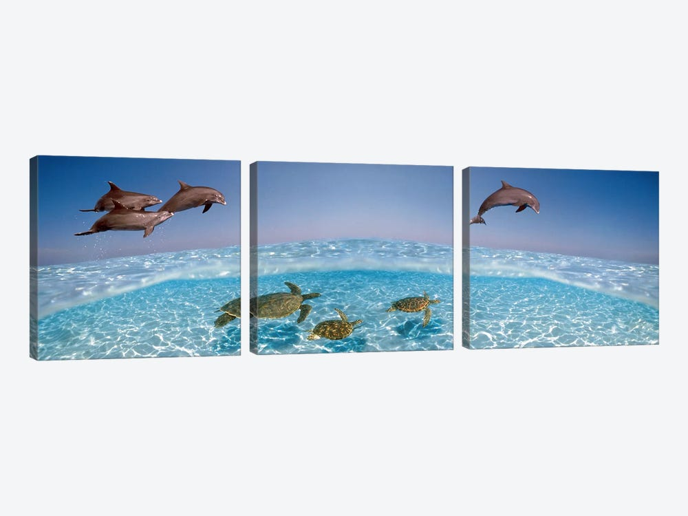 Bottlenose Dolphin Jumping While Turtles Swimming Under Water by Panoramic Images 3-piece Canvas Print