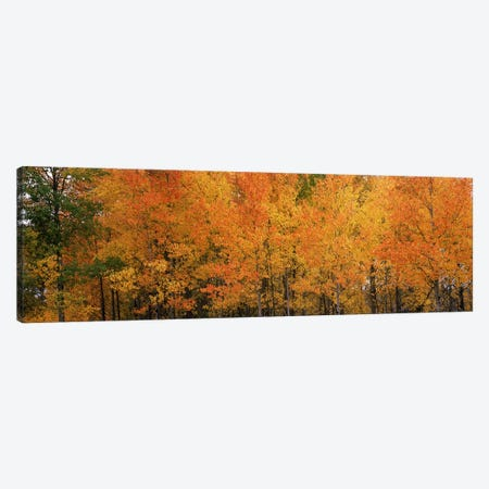 ForestJackson, Jackson Hole, Teton County, Wyoming, USA Canvas Print #PIM8591} by Panoramic Images Art Print