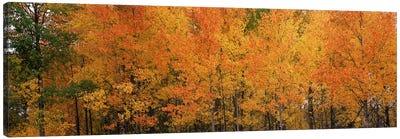 ForestJackson, Jackson Hole, Teton County, Wyoming, USA Canvas Print #PIM8591