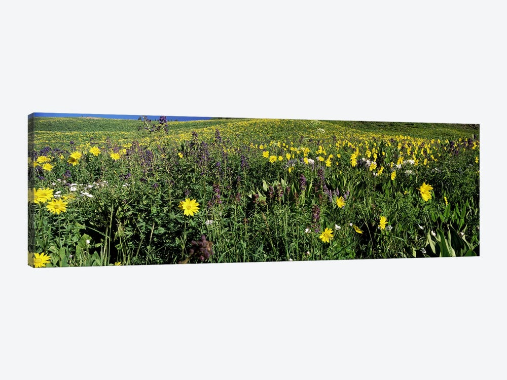 Wildflowers in a field, West Maroon Pass, Crested Butte, Gunnison County, Colorado, USA by Panoramic Images 1-piece Canvas Print