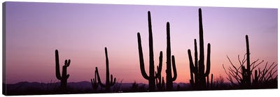 Silhouette of Saguaro cacti (Carnegiea gigantea) on a landscape, Saguaro National Park, Tucson, Pima County, Arizona, USA #3 Canvas Print #PIM8651