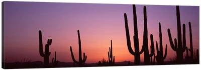Silhouette of Saguaro cacti (Carnegiea gigantea) on a landscape, Saguaro National Park, Tucson, Pima County, Arizona, USA #4 Canvas Art Print