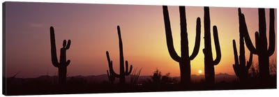 Silhouette of Saguaro cacti (Carnegiea gigantea) on a landscape, Saguaro National Park, Tucson, Pima County, Arizona, USA #5 Canvas Print #PIM8653