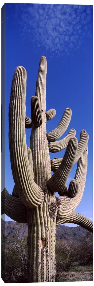 Low angle view of a Saguaro cactus (Carnegiea gigantea) on a landscape, Saguaro National Park, Tucson, Arizona, USA Canvas Art Print