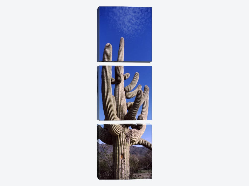Low angle view of a Saguaro cactus (Carnegiea gigantea) on a landscape, Saguaro National Park, Tucson, Arizona, USA by Panoramic Images 3-piece Canvas Artwork