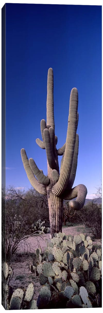 Low angle view of a Saguaro cactus (Carnegiea gigantea) on a landscape, Saguaro National Park, Tucson, Arizona, USA #2 Canvas Art Print