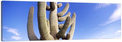 Low angle view of a Saguaro cactus(Carnegiea gigantea), Saguaro National Park, Tucson, Pima County, Arizona, USA Canvas Art Print