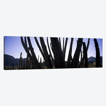 Organ Pipe cacti (Stenocereus thurberi) on a landscape, Organ Pipe Cactus National Monument, Arizona, USA Canvas Print #PIM8670} by Panoramic Images Canvas Artwork