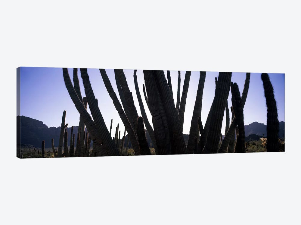 Organ Pipe cacti (Stenocereus thurberi) on a landscape, Organ Pipe Cactus National Monument, Arizona, USA by Panoramic Images 1-piece Canvas Wall Art