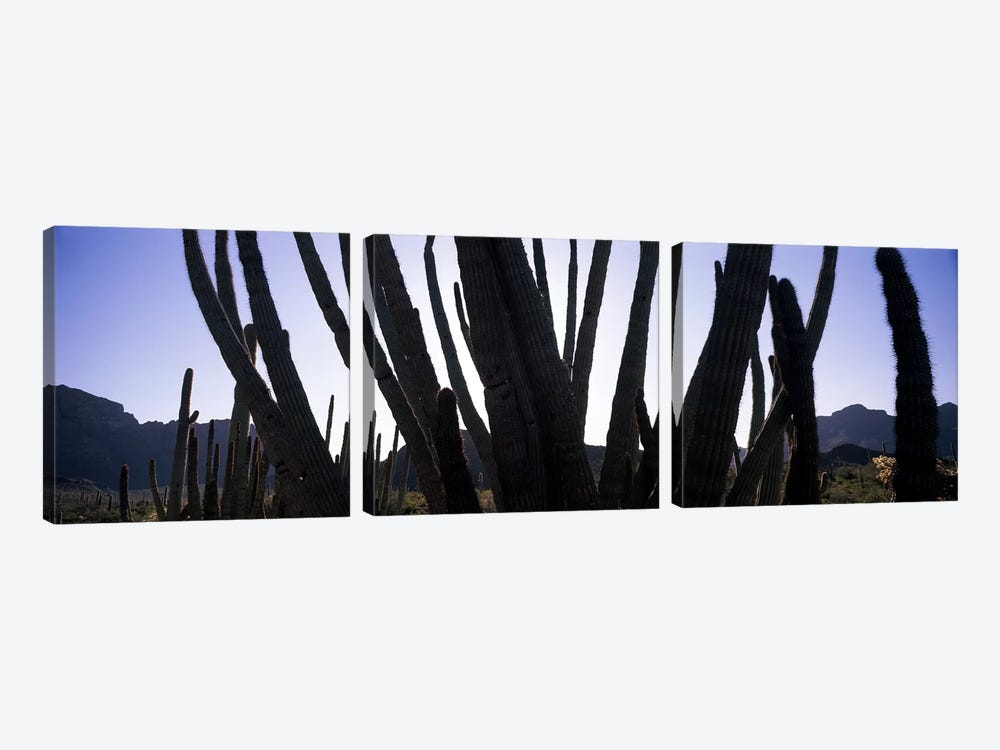 Organ Pipe cacti (Stenocereus thurberi) on a landscape, Organ Pipe Cactus National Monument, Arizona, USA by Panoramic Images 3-piece Canvas Wall Art