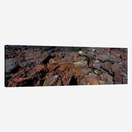 Marine iguana (Amblyrhynchus cristatus) on volcanic rock, Isabela Island, Galapagos Islands, Ecuador #2 Canvas Print #PIM8823} by Panoramic Images Canvas Print