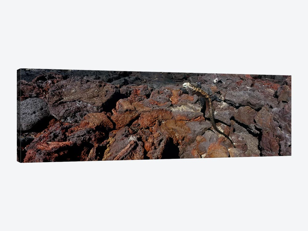 Marine iguana (Amblyrhynchus cristatus) on volcanic rock, Isabela Island, Galapagos Islands, Ecuador #2 by Panoramic Images 1-piece Canvas Print