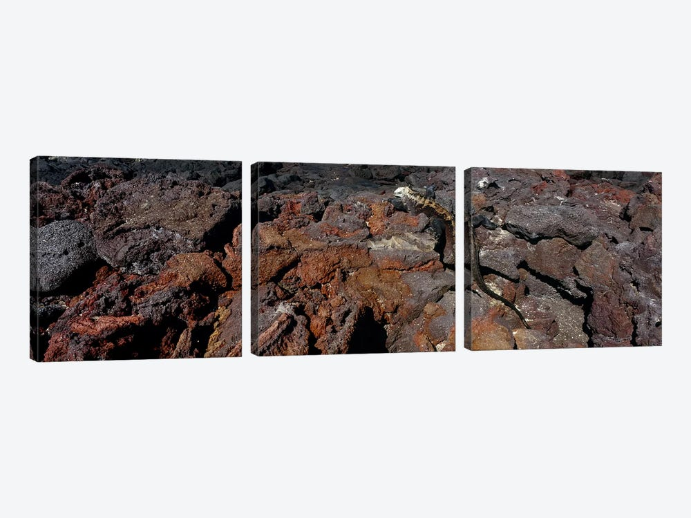 Marine iguana (Amblyrhynchus cristatus) on volcanic rock, Isabela Island, Galapagos Islands, Ecuador #2 by Panoramic Images 3-piece Art Print