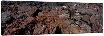 Marine iguana (Amblyrhynchus cristatus) on volcanic rock, Isabela Island, Galapagos Islands, Ecuador #2 Canvas Art Print