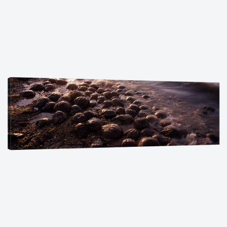 Horseshoe crabs (Limulus polyphemus), spawning, Port Mahon, Delaware River, Delaware, USA Canvas Print #PIM8826} by Panoramic Images Canvas Wall Art