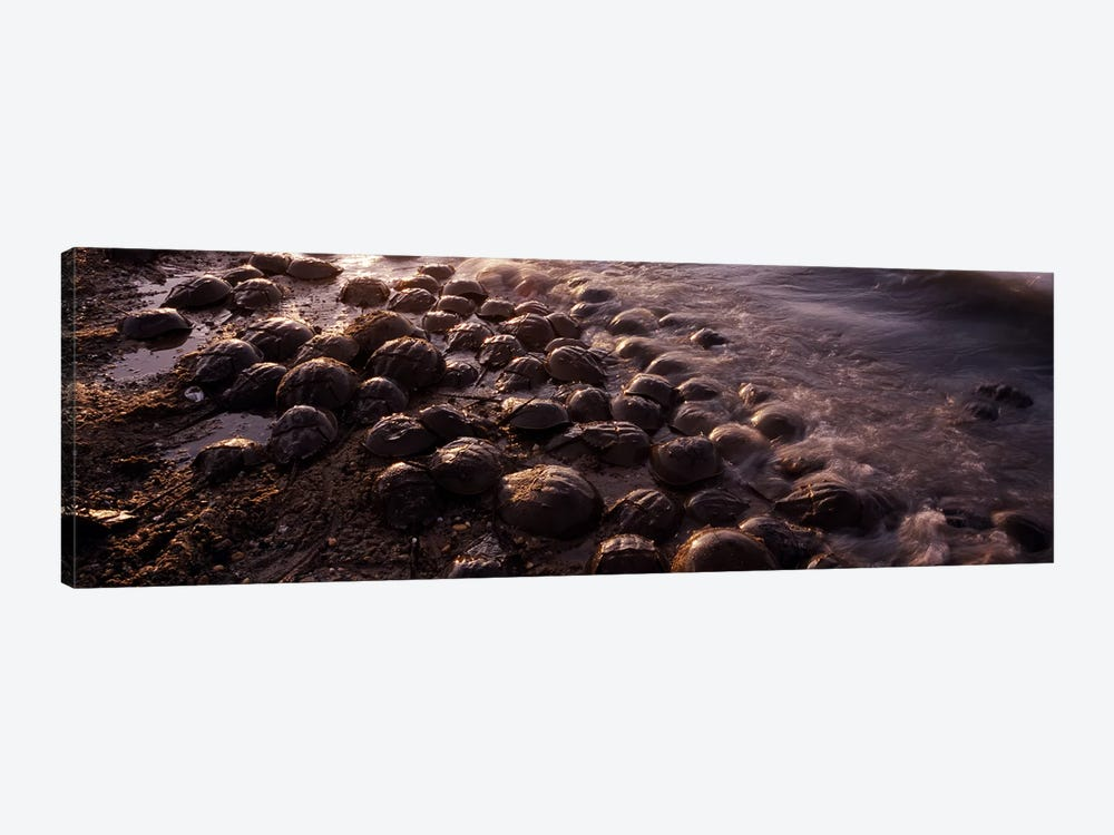 Horseshoe crabs (Limulus polyphemus), spawning, Port Mahon, Delaware River, Delaware, USA by Panoramic Images 1-piece Canvas Wall Art