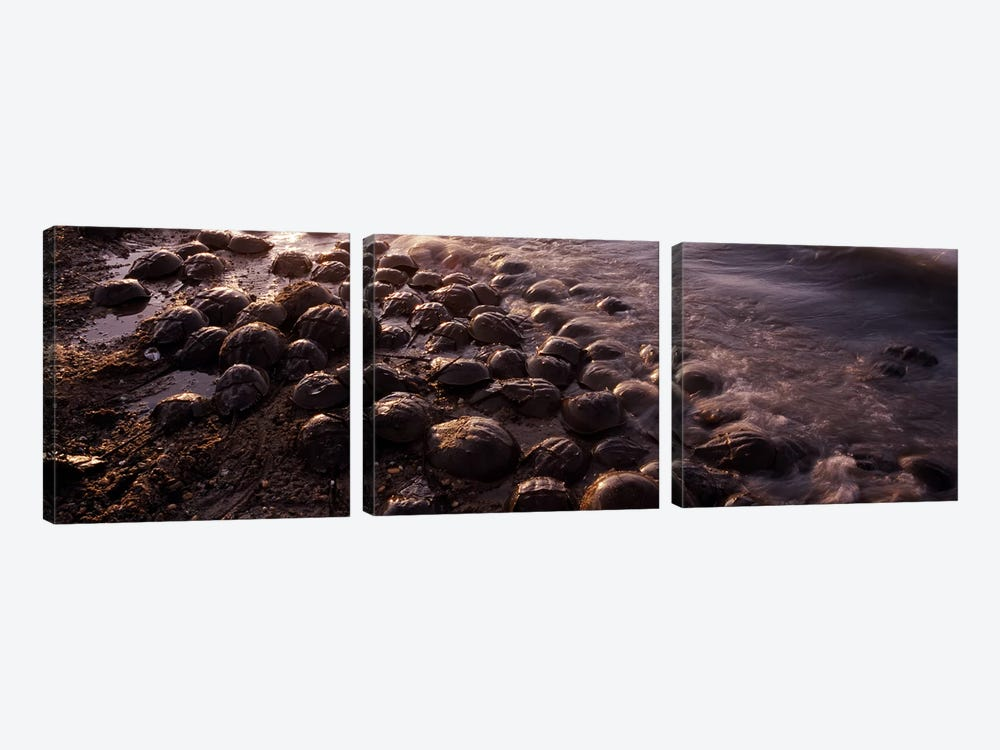 Horseshoe crabs (Limulus polyphemus), spawning, Port Mahon, Delaware River, Delaware, USA by Panoramic Images 3-piece Canvas Artwork