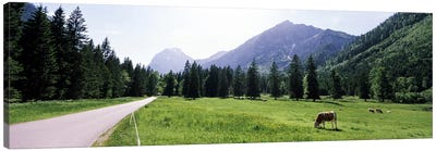 Cows grazing in a field, Karwendel Mountains, Risstal Valley, Hinterriss, Tyrol, Austria Canvas Art Print
