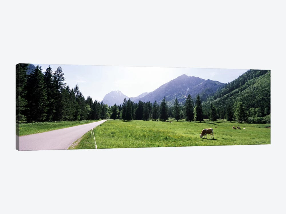 Cows grazing in a field, Karwendel Mountains, Risstal Valley, Hinterriss, Tyrol, Austria by Panoramic Images 1-piece Canvas Art