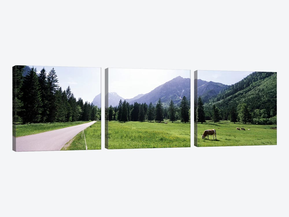 Cows grazing in a field, Karwendel Mountains, Risstal Valley, Hinterriss, Tyrol, Austria by Panoramic Images 3-piece Canvas Art