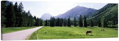 Cows grazing in a field, Karwendel Mountains, Risstal Valley, Hinterriss, Tyrol, Austria Canvas Art Print