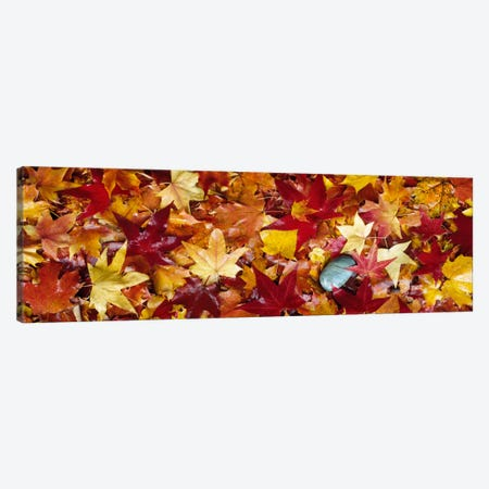 Maple leaves Canvas Print #PIM884} by Panoramic Images Art Print