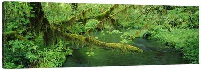 Understorey Landscape, Hoh Rainforest, Olympic National Park, Washington, USA Canvas Art Print