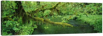 Understorey Landscape, Hoh Rainforest, Olympic National Park, Washington, USA Canvas Art Print