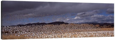 Flock of Snow geese (Chen caerulescens) flyingBosque Del Apache National Wildlife Reserve, Socorro County, New Mexico, USA Canvas Print #PIM9082