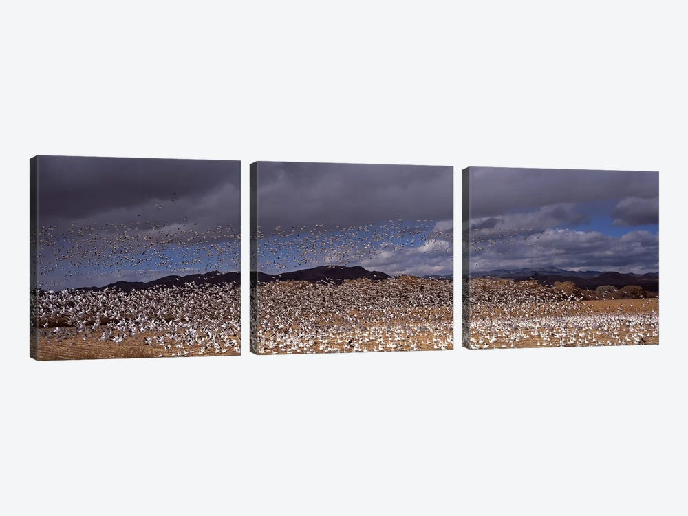 Flock of Snow geese (Chen caerulescens) flyingBosque Del Apache National Wildlife Reserve, Socorro County, New Mexico, USA by Panoramic Images 3-piece Canvas Art Print