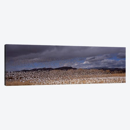 Flock of Snow geese (Chen caerulescens) flyingBosque Del Apache National Wildlife Reserve, Socorro County, New Mexico, USA 3-Piece Canvas #PIM9082} by Panoramic Images Canvas Art