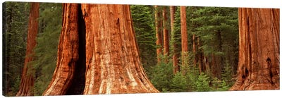 Giant sequoia trees in a forest, California, USA Canvas Art Print