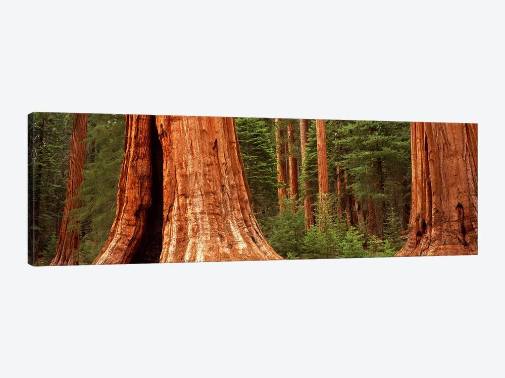 Giant sequoia trees in a forest, California, USA by Panoramic Images 1-piece Canvas Print