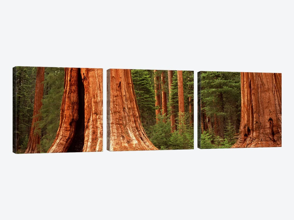 Giant sequoia trees in a forest, California, USA by Panoramic Images 3-piece Canvas Print